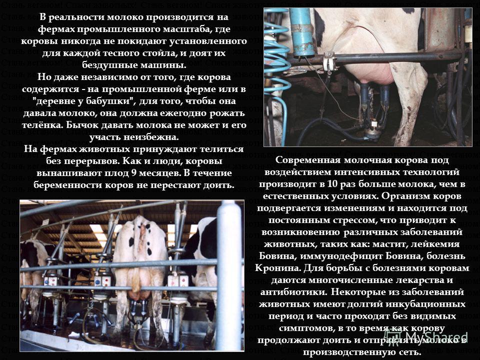 В реальности молоко производится на фермах промышленного масштаба, где коровы никогда не покидают установленного для каждой тесного стойла, и доят их бездушные машины. Но даже независимо от того, где корова содержится - на промышленной ферме или в