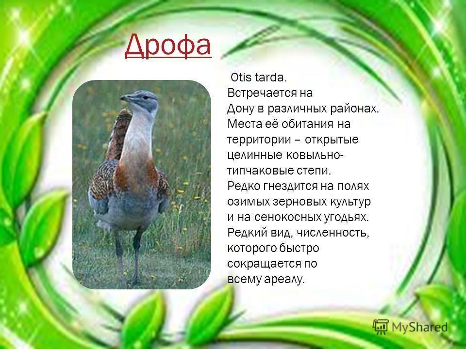 Platalea Leucorodia Достигает длины 1 м, веса в 1,2- 2 кг. Размах крыльев 115135 см. Окраска обыкновенной колпицы белая, клюв и ноги чёрные. В брачном наряде развивается хохолок на затылке и охристое пятно в основании шеи. Гнездится в низовьях Дона и