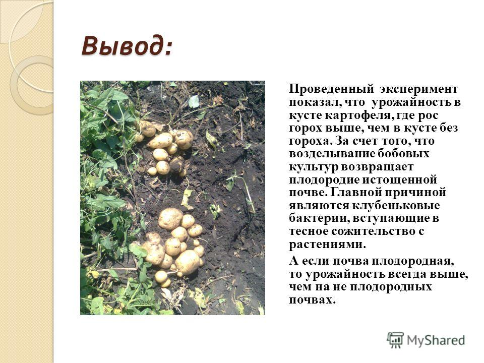 Вывод : Проведенный эксперимент показал, что урожайность в кусте картофеля, где рос горох выше, чем в кусте без гороха. За счет того, что возделывание бобовых культур возвращает плодородие истощенной почве. Главной причиной являются клубеньковые бакт