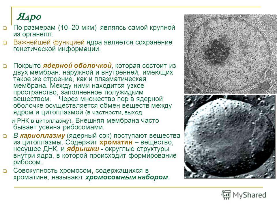 Ядро По размерам (10–20 мкм) являясь самой крупной из органелл. Важнейшей функцией ядра является сохранение генетической информации. Покрыто ядерной оболочкой, которая состоит из двух мембран: наружной и внутренней, имеющих такое же строение, как и п