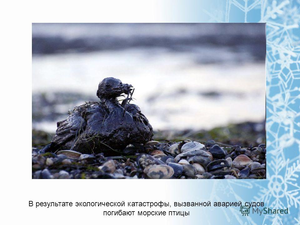 В результате экологической катастрофы, вызванной аварией судов погибают морские птицы