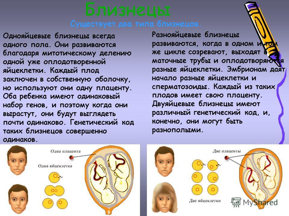 Близнецы Существует два типа близнецов. Разнояйцевые близнецы развиваются, когда в одном и том же цикле созревают, выходят в маточные трубы и оплодотворяются разные яйцеклетки. Эмбрионам даят начало разные яйцеклетки и сперматозоиды. Каждый из таких