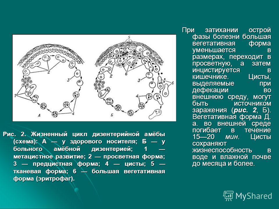 Рис. 2. Жизненный цикл дизентерийной амёбы (схема): А у здорового носителя; Б у больного амёбной дизентерией; 1 метацистное развитие; 2 просветная форма; 3 предцистная форма; 4 цисты; 5 тканевая форма; 6 большая вегетативная форма (эритрофаг). При за