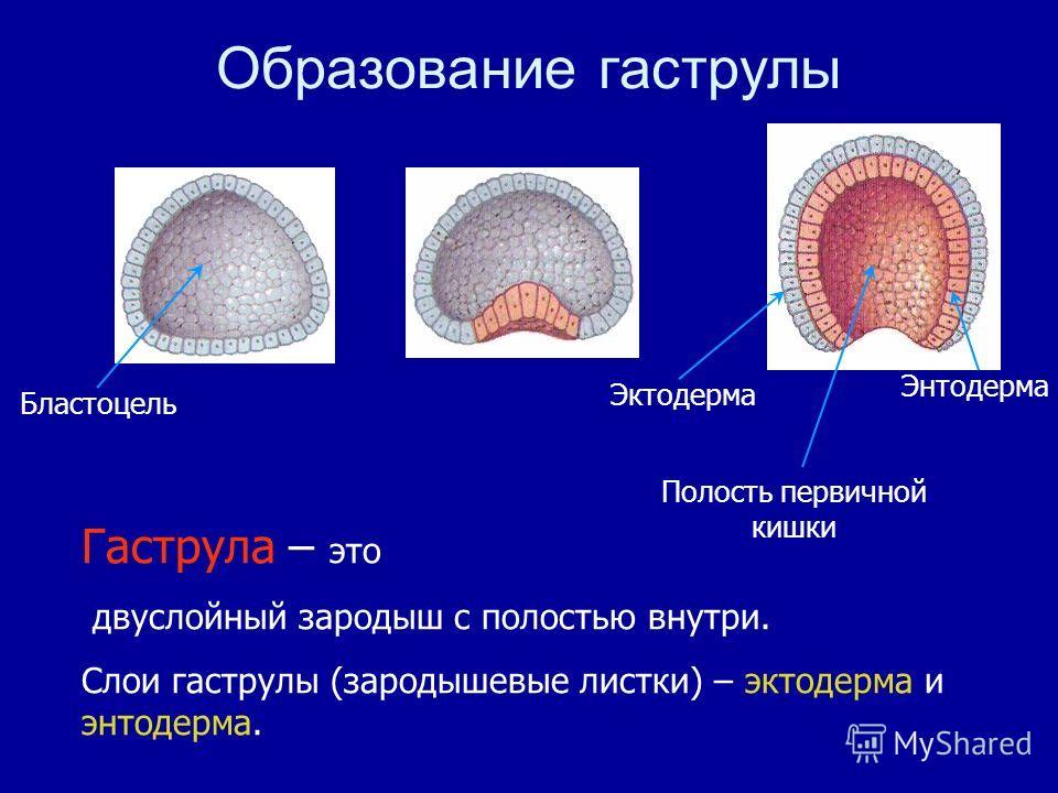 Гаструла – это двуслойный зародыш с полостью внутри. Слои гаструлы (зародышевые листки) – эктодерма и энтодерма. Образование гаструлы Бластоцель Эктодерма Энтодерма Полость первичной кишки