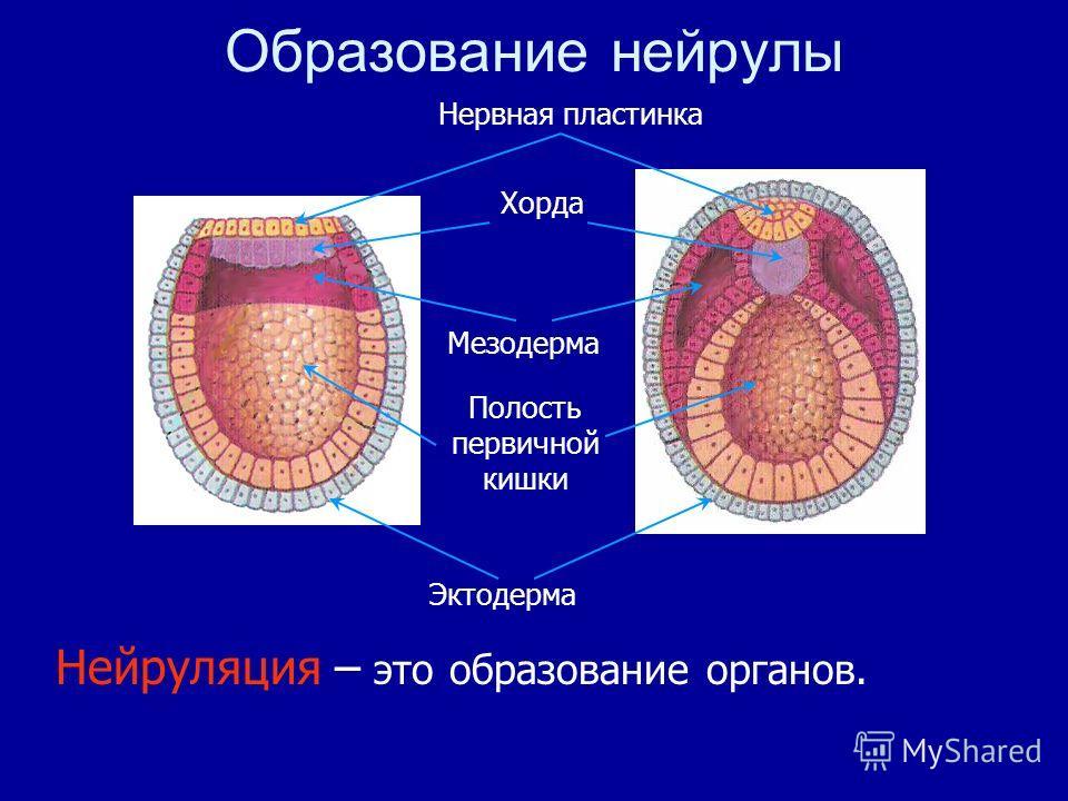 Нейруляция – это образование органов. Образование нейрулы Полость первичной кишки Эктодерма Мезодерма Нервная пластинка Хорда