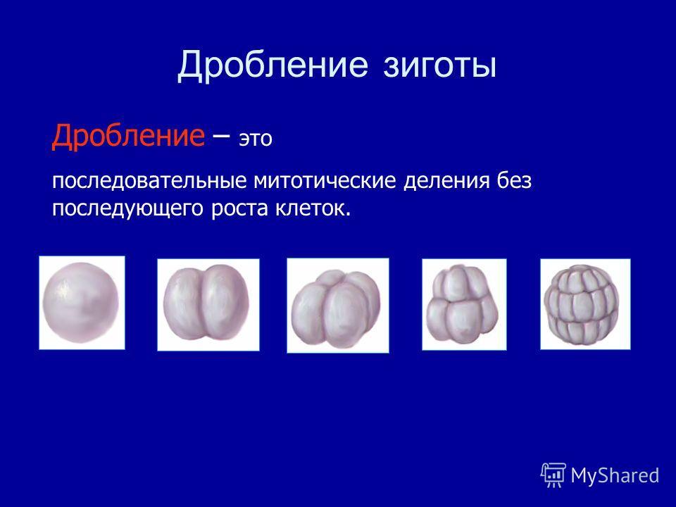 Дробление зиготы Дробление – это последовательные митотические деления без последующего роста клеток.