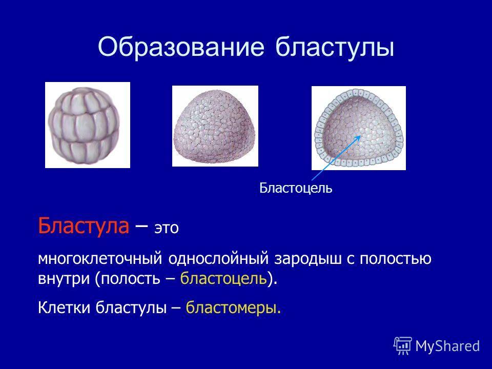 Бластула – это многоклеточный однослойный зародыш с полостью внутри (полость – бластоцель). Клетки бластулы – бластомеры. Образование бластулы Бластоцель
