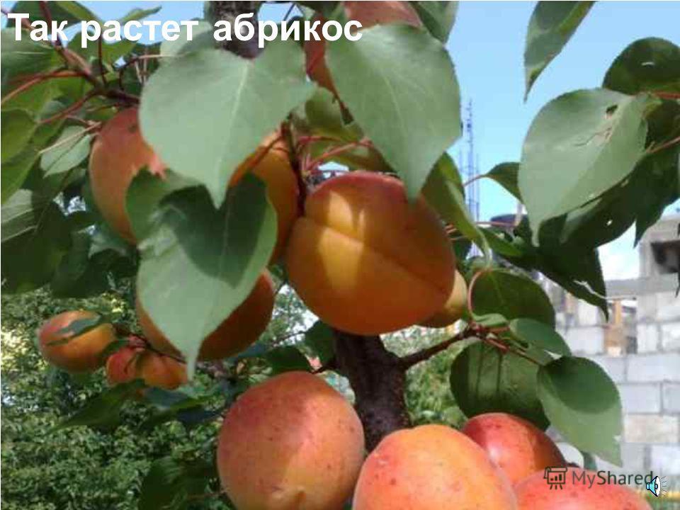 Абрикос это дерево. Цветки абрикоса.