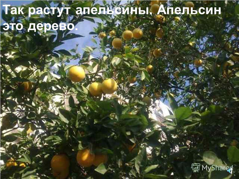 Лимон очень кислый. В нем много полезного сока.