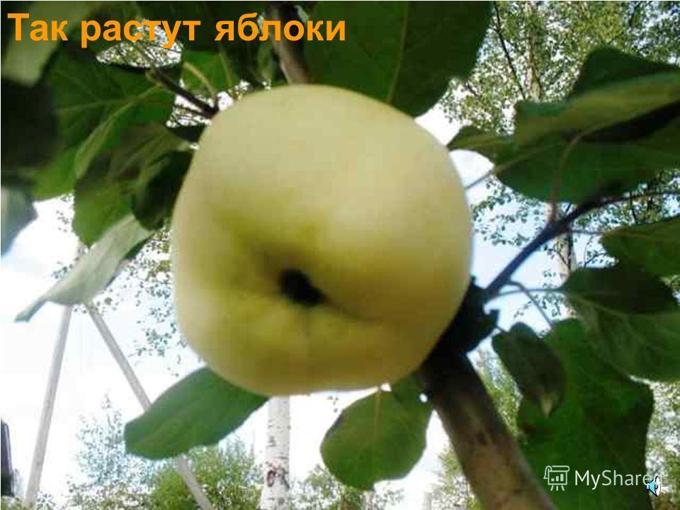 Цветки яблони. Яблоня это дерево.