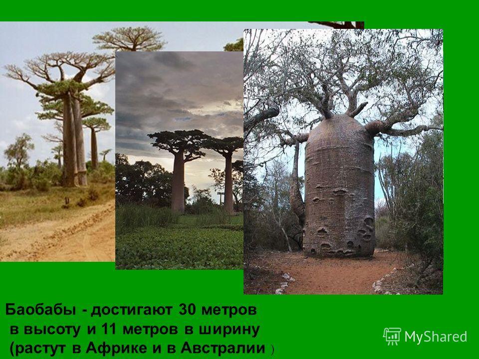 Баобабы - достигают 30 метров в высоту и 11 метров в ширину (растут в Африке и в Австралии )