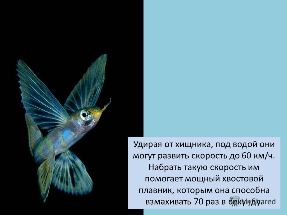 Удирая от хищника, под водой они могут развить скорость до 60 км/ч. Набрать такую скорость им помогает мощный хвостовой плавник, которым она способна взмахивать 70 раз в секунду.