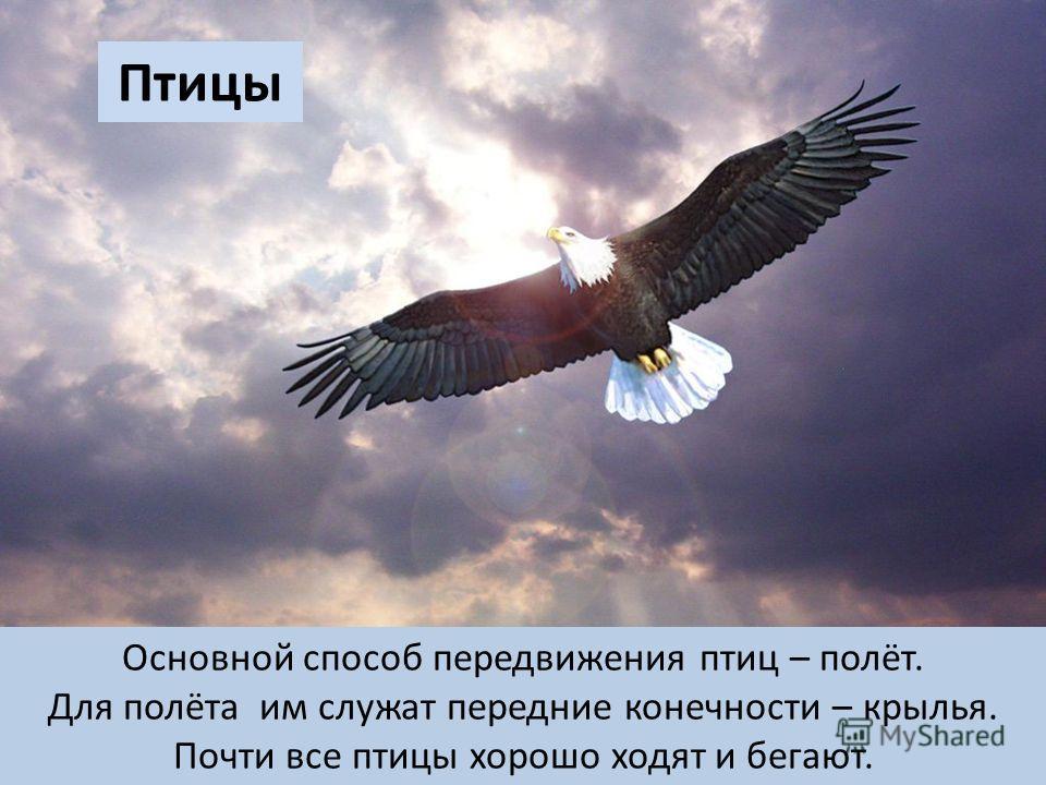 Птицы Основной способ передвижения птиц – полёт. Для полёта им служат передние конечности – крылья. Почти все птицы хорошо ходят и бегают.