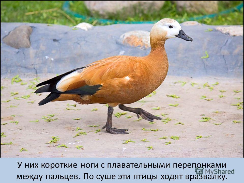 У них короткие ноги с плавательными перепонками между пальцев. По суше эти птицы ходят вразвалку.