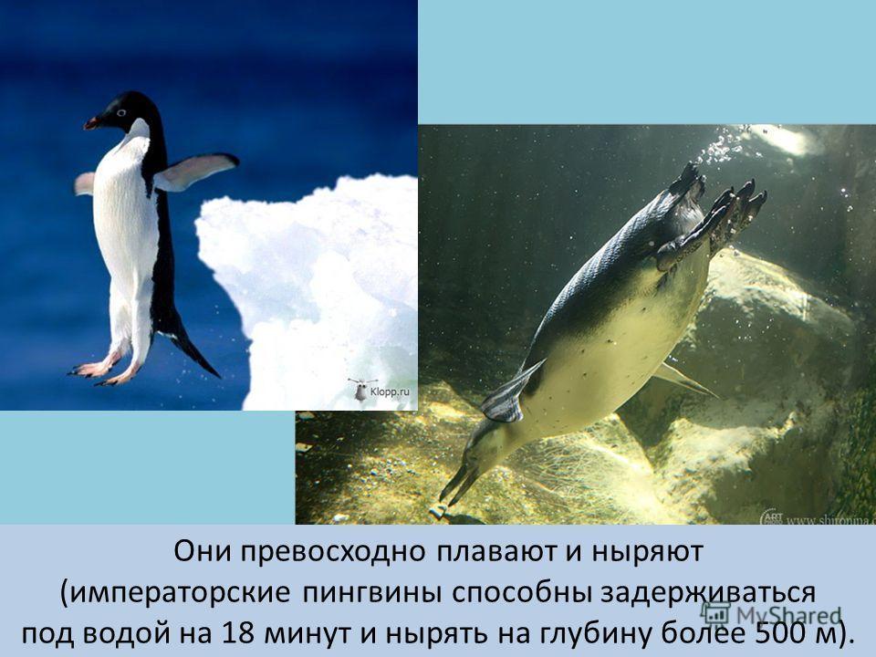 Они превосходно плавают и ныряют (императорские пингвины способны задерживаться под водой на 18 минут и нырять на глубину более 500 м).