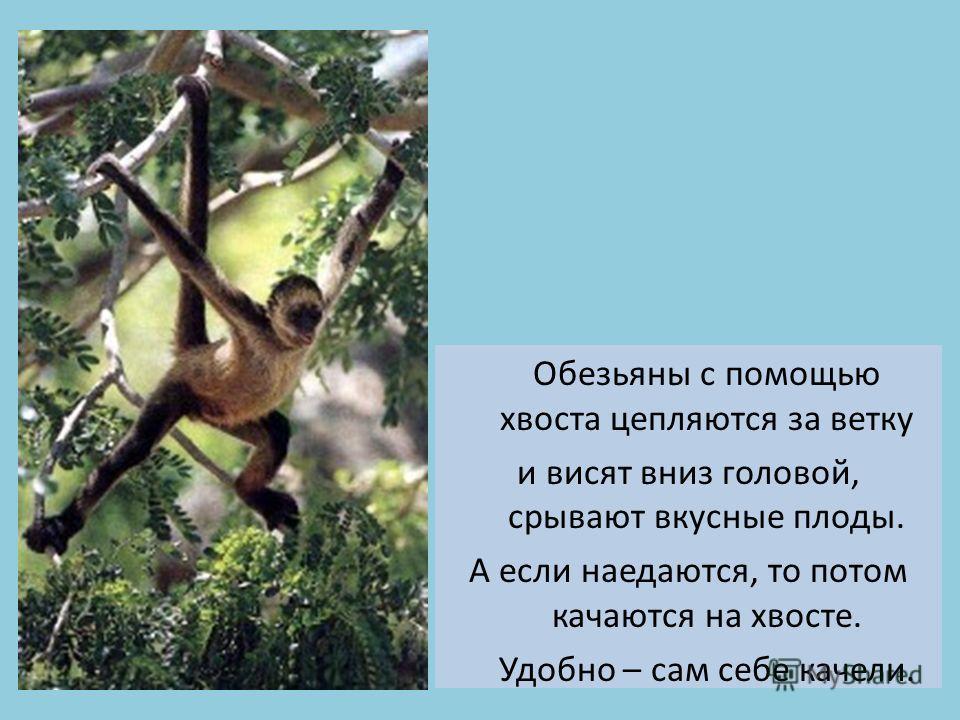 Обезьяны с помощью хвоста цепляются за ветку и висят вниз головой, срывают вкусные плоды. А если наедаются, то потом качаются на хвосте. Удобно – сам себе качели.
