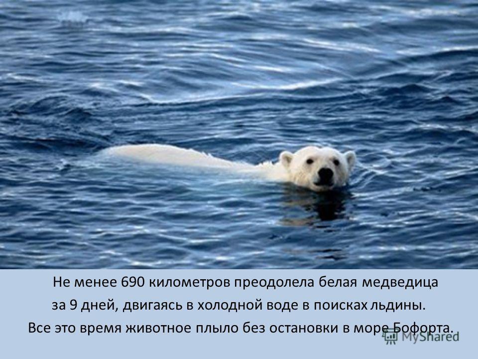 Не менее 690 километров преодолела белая медведица за 9 дней, двигаясь в холодной воде в поисках льдины. Все это время животное плыло без остановки в море Бофорта.