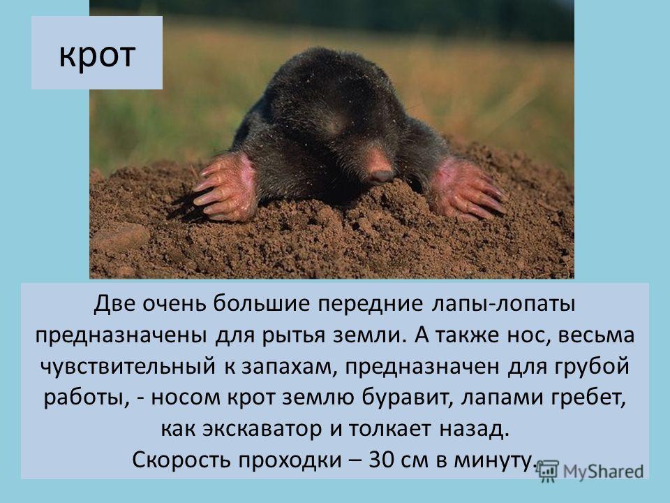 Две очень большие передние лапы-лопаты предназначены для рытья земли. А также нос, весьма чувствительный к запахам, предназначен для грубой работы, - носом крот землю буравит, лапами гребет, как экскаватор и толкает назад. Скорость проходки – 30 см в
