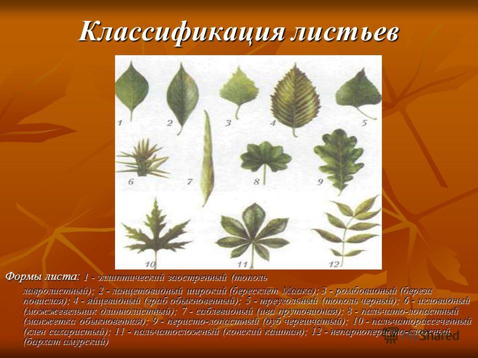 Классификация листьев Формы листа: 1 - эллиптический заостренный (тополь лавролистный); 2 - ланцетовидный широкий (бересклет Маака); 3 - ромбовидный (береза повислая); 4 - яйцевидный (граб обыкновенный); 5 - треугольный (тополь черный); 6 - игловидны