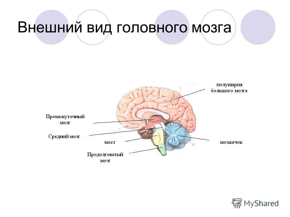 Внешний вид головного мозга