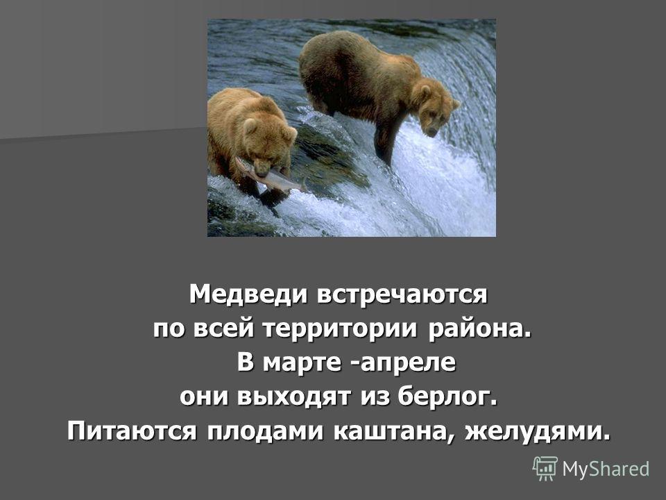 Медведи встречаются по всей территории района. по всей территории района. В марте -апреле В марте -апреле они выходят из берлог. Питаются плодами каштана, желудями.