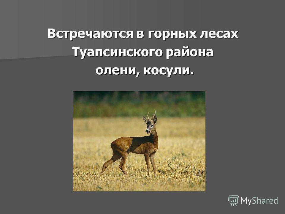 Встречаются в горных лесах Туапсинского района олени, косули.