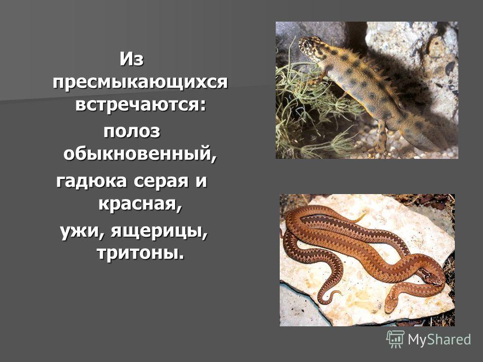 Из пресмыкающихся встречаются: полоз обыкновенный, гадюка серая и красная, ужи, ящерицы, тритоны. ужи, ящерицы, тритоны.