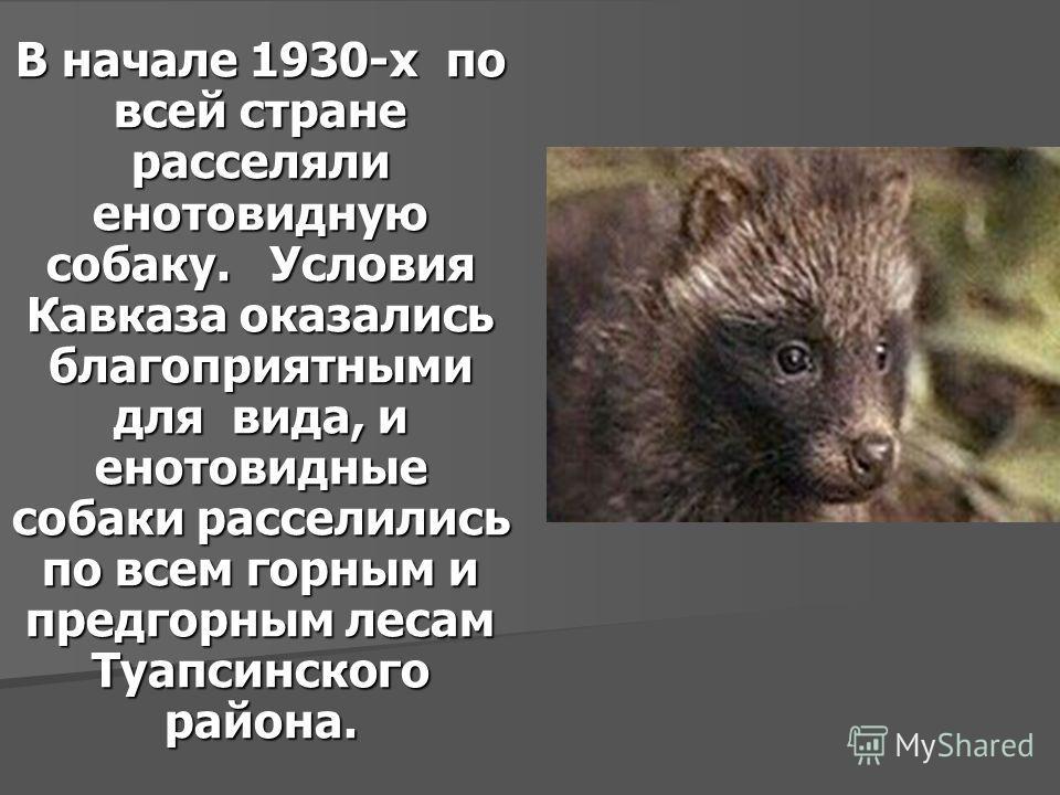 В начале 1930-х по всей стране расселяли енотовидную собаку. Условия Кавказа оказались благоприятными для вида, и енотовидные собаки расселились по всем горным и предгорным лесам Туапсинского района.