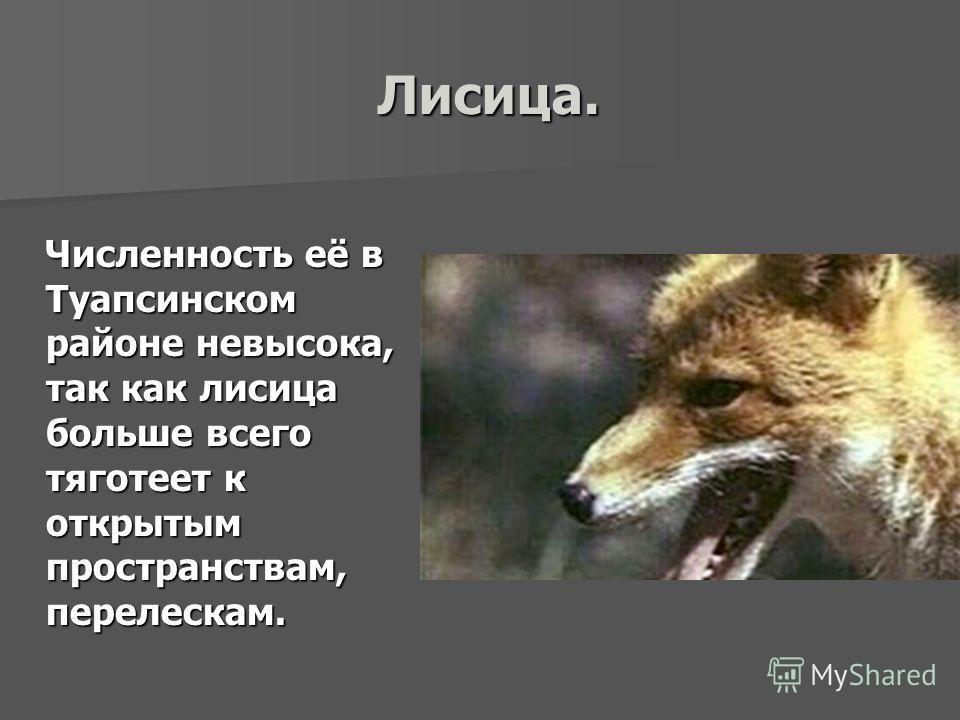 Лисица. Численность её в Туапсинском районе невысока, так как лисица больше всего тяготеет к открытым пространствам, перелескам.