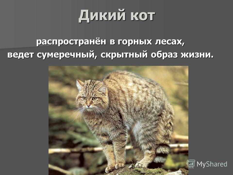 Дикий кот распространён в горных лесах, ведет сумеречный, скрытный образ жизни.