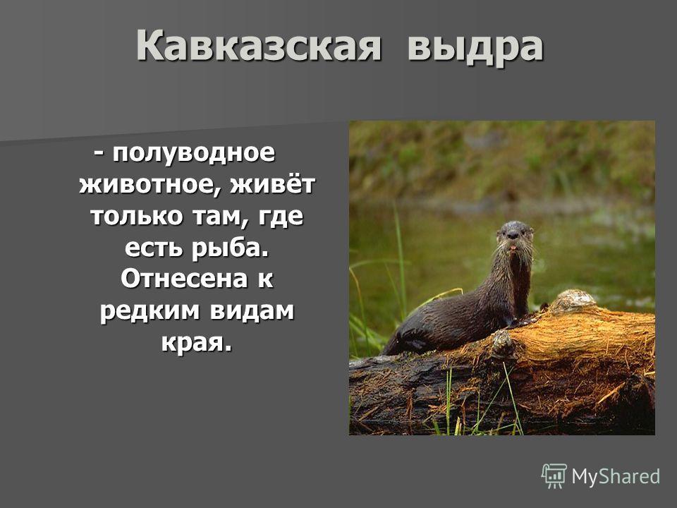 Кавказская выдра - полуводное животное, живёт только там, где есть рыба. Отнесена к редким видам края.