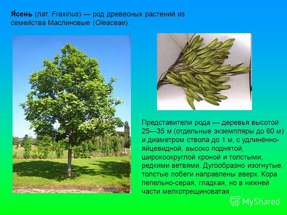 Я́сень (лат. Fraxinus) род древесных растений из семейства Маслиновые (Oleaceae). Представители рода деревья высотой 2535 м (отдельные экземпляры до 60 м) и диаметром ствола до 1 м, с удлинённо- яйцевидной, высоко поднятой, широкоокруглой кроной и то