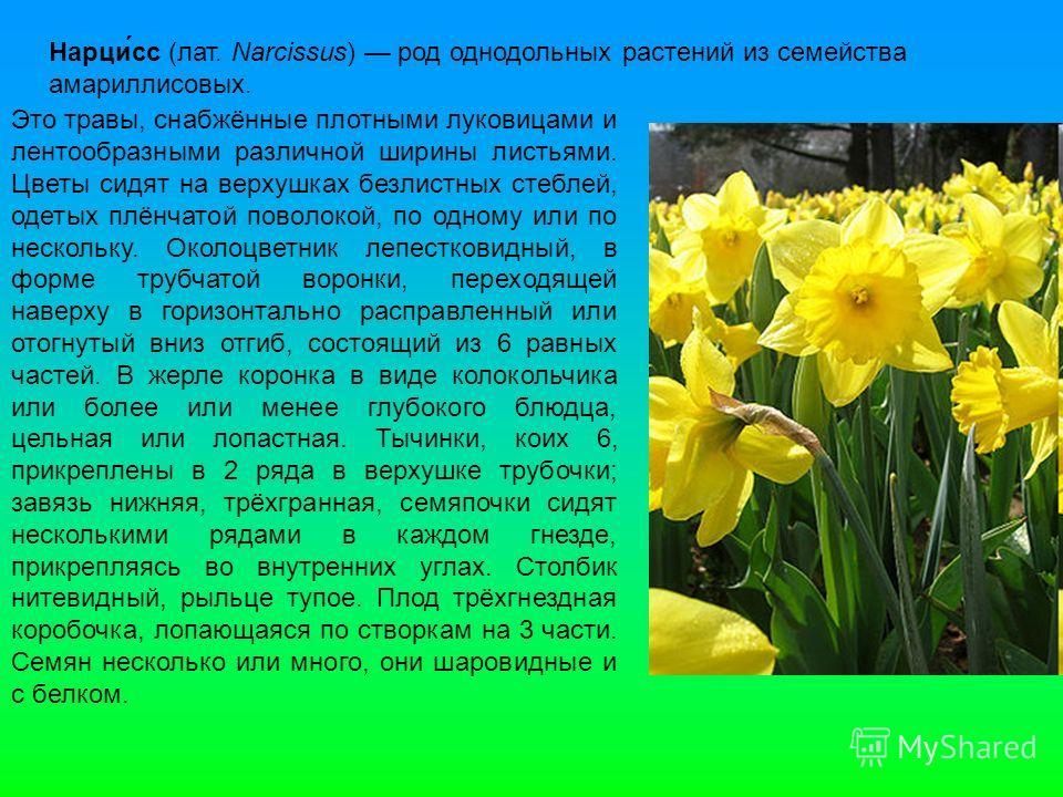 Нарци́сс (лат. Narcissus) род однодольных растений из семейства амариллисовых. Это травы, снабжённые плотными луковицами и лентообразными различной ширины листьями. Цветы сидят на верхушках безлистных стеблей, одетых плёнчатой поволокой, по одному ил