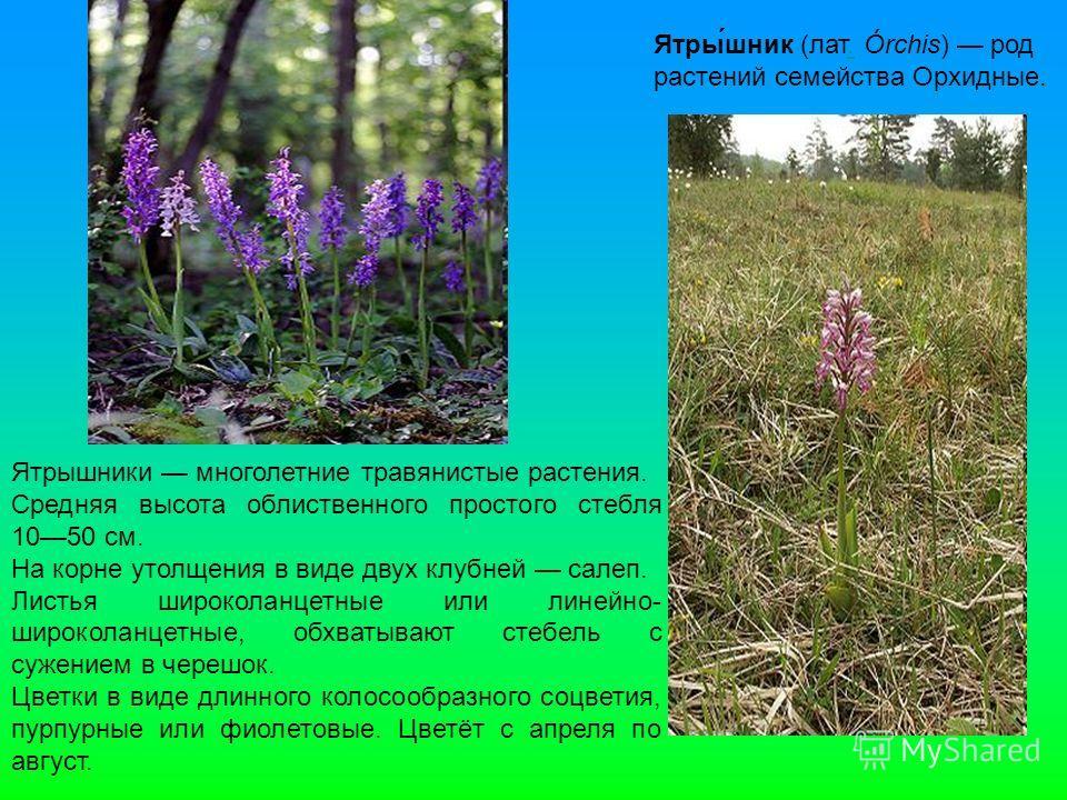 Ятры́шник (лат. Órchis) род растений семейства Орхидные.. Ятрышники многолетние травянистые растения. Средняя высота облиственного простого стебля 1050 см. На корне утолщения в виде двух клубней салеп. Листья широколанцетные или линейно- широколанцет