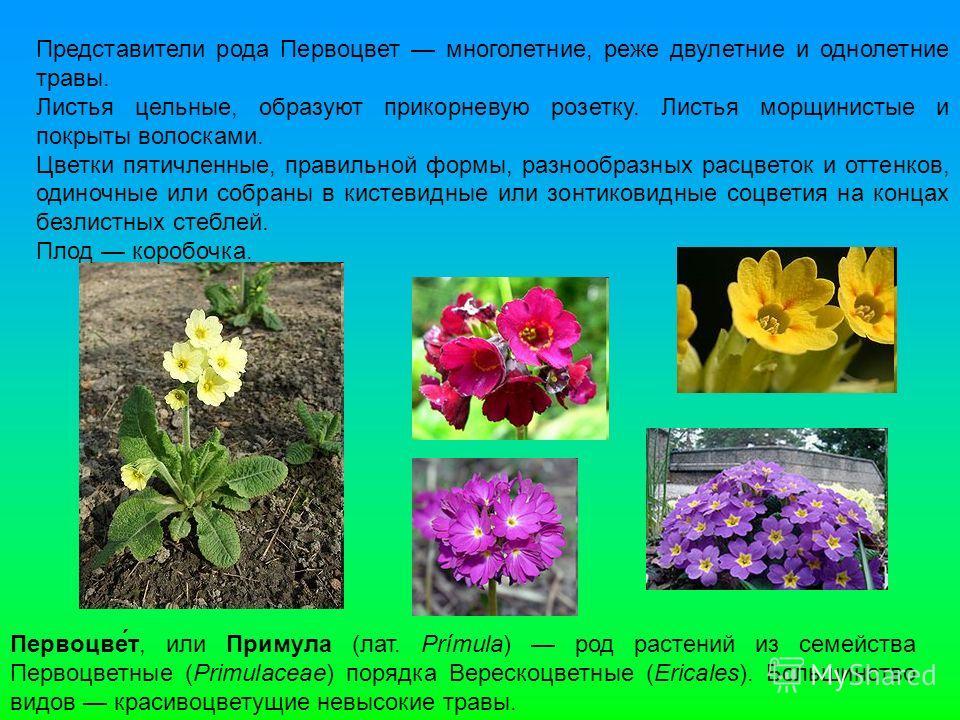 Первоцве́т, или Примула (лат. Prímula) род растений из семейства Первоцветные (Primulaceae) порядка Верескоцветные (Ericales). Большинство видов красивоцветущие невысокие травы. Представители рода Первоцвет многолетние, реже двулетние и однолетние тр