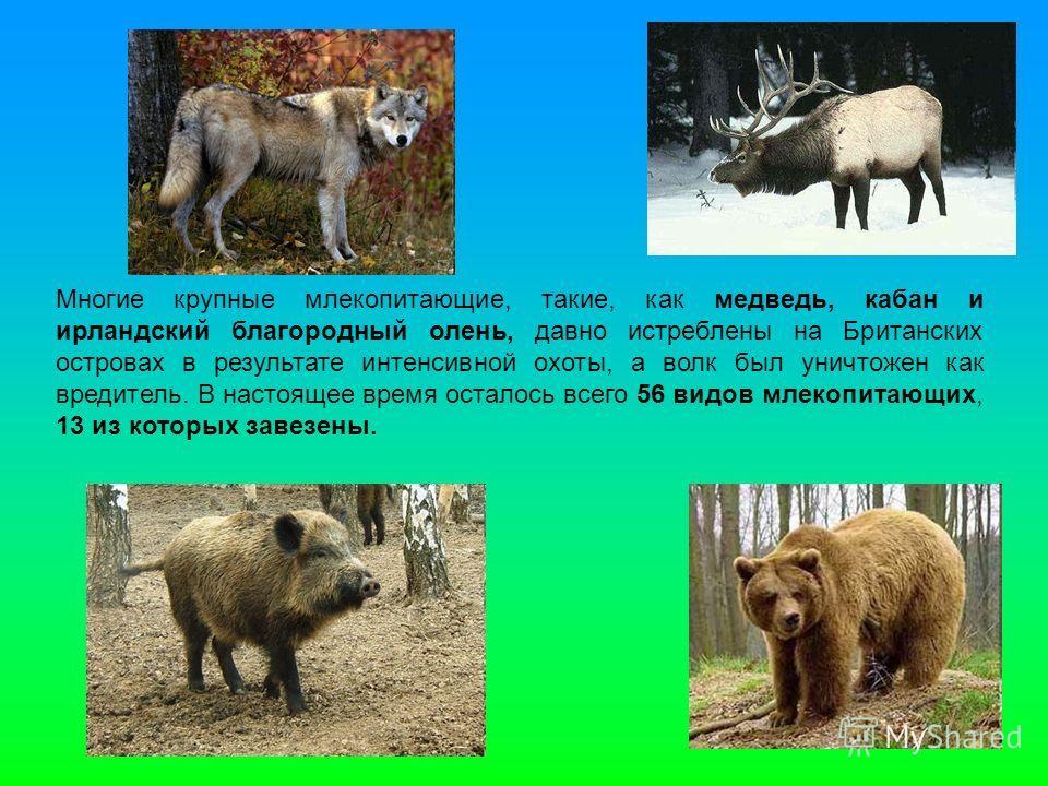 Многие крупные млекопитающие, такие, как медведь, кабан и ирландский благородный олень, давно истреблены на Британских островах в результате интенсивной охоты, а волк был уничтожен как вредитель. В настоящее время осталось всего 56 видов млекопитающи