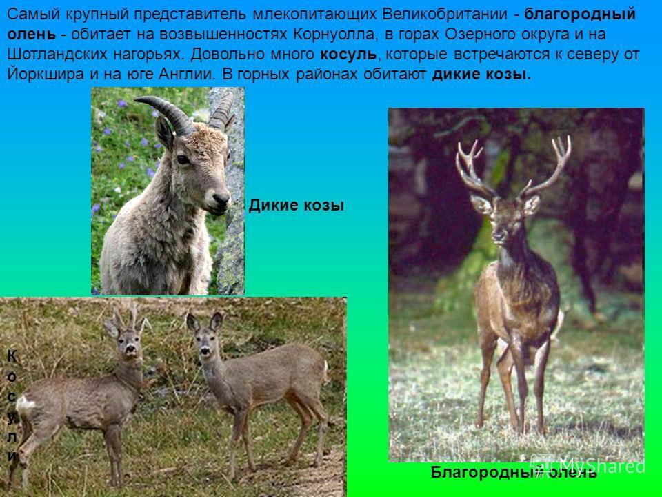 Самый крупный представитель млекопитающих Великобритании - благородный олень - обитает на возвышенностях Корнуолла, в горах Озерного округа и на Шотландских нагорьях. Довольно много косуль, которые встречаются к северу от Йоркшира и на юге Англии. В