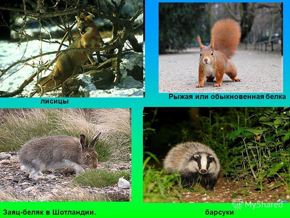 Рыжая или обыкновенная белка Заяц-беляк в Шотландии. лисицы барсуки