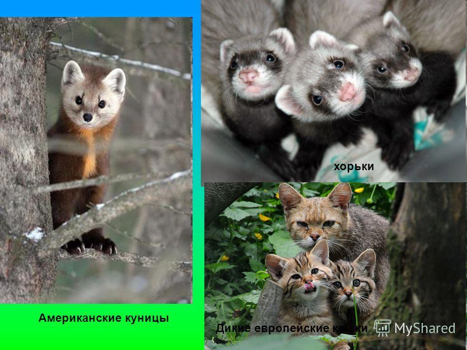 хорьки Дикие европейские кошки Американские куницы