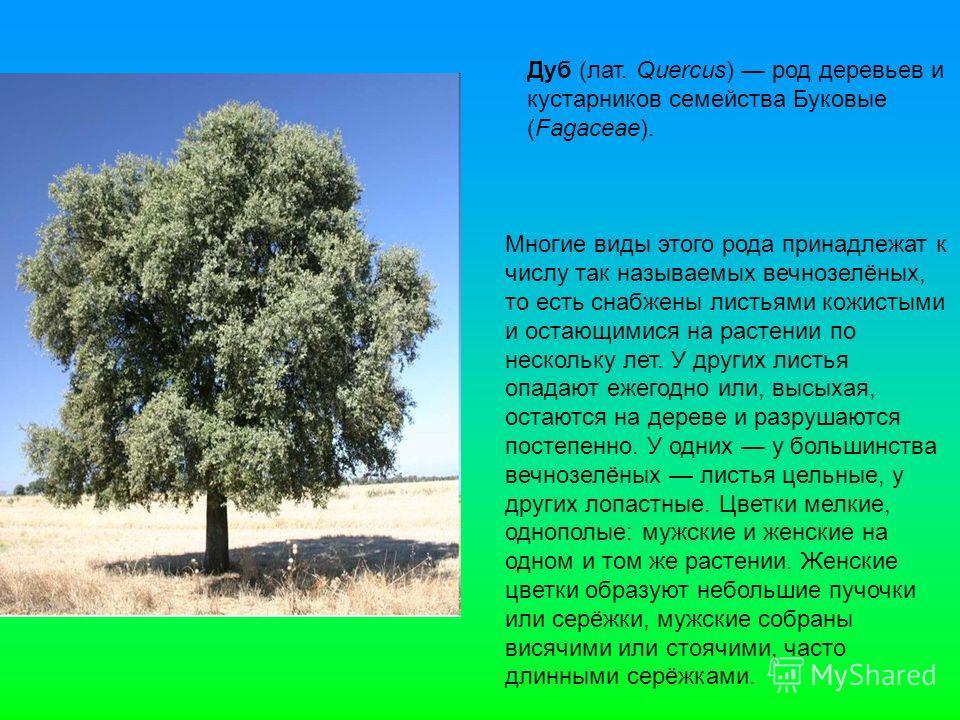 Дуб (лат. Quercus) род деревьев и кустарников семейства Буковые (Fagaceae). Многие виды этого рода принадлежат к числу так называемых вечнозелёных, то есть снабжены листьями кожистыми и остающимися на растении по нескольку лет. У других листья опадаю