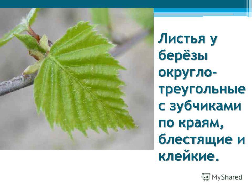 Листья у берёзы округло- треугольные с зубчиками по краям, блестящие и клейкие.