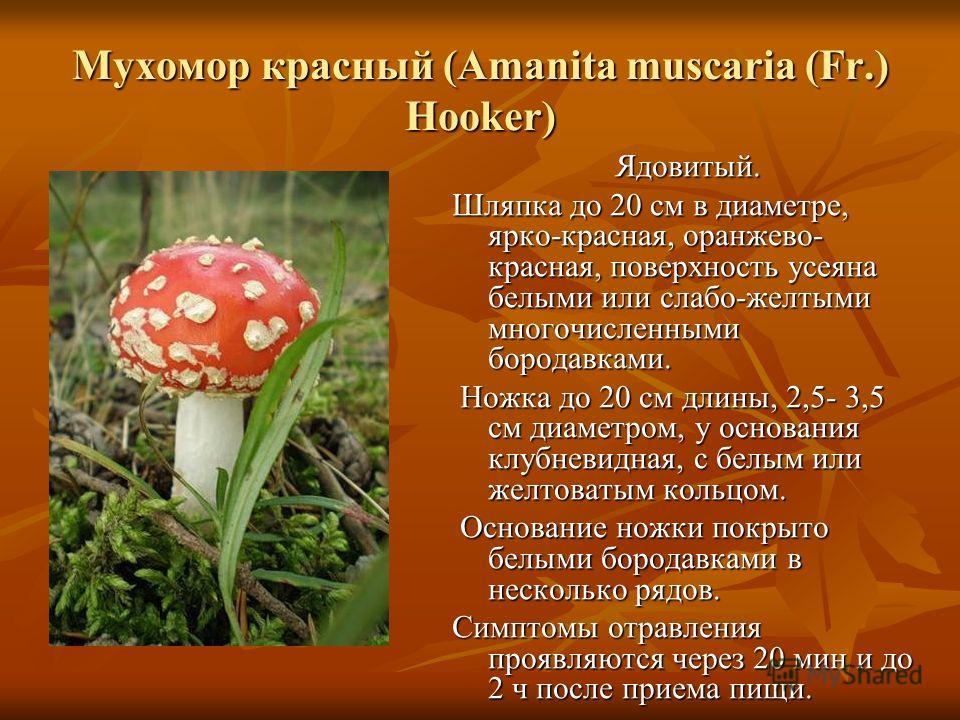 Мухомор красный (Amanita muscaria (Fr.) Hooker) Ядовитый. Шляпка до 20 см в диаметре, ярко-красная, оранжево- красная, поверхность усеяна белыми или слабо-желтыми многочисленными бородавками. Ножка до 20 см длины, 2,5- 3,5 см диаметром, у основания к