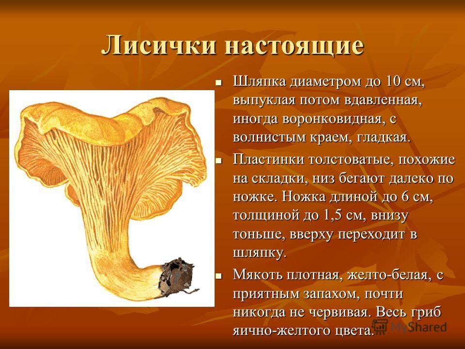Лисички настоящие Шляпка диаметром до 10 см, выпуклая потом вдавленная, иногда воронковидная, с волнистым краем, гладкая. Шляпка диаметром до 10 см, выпуклая потом вдавленная, иногда воронковидная, с волнистым краем, гладкая. Пластинки толстоватые, п
