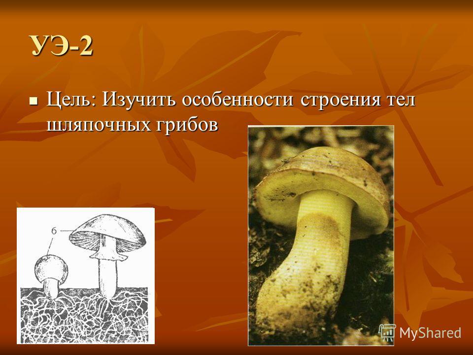 УЭ-2 Цель: Изучить особенности строения тел шляпочных грибов Цель: Изучить особенности строения тел шляпочных грибов