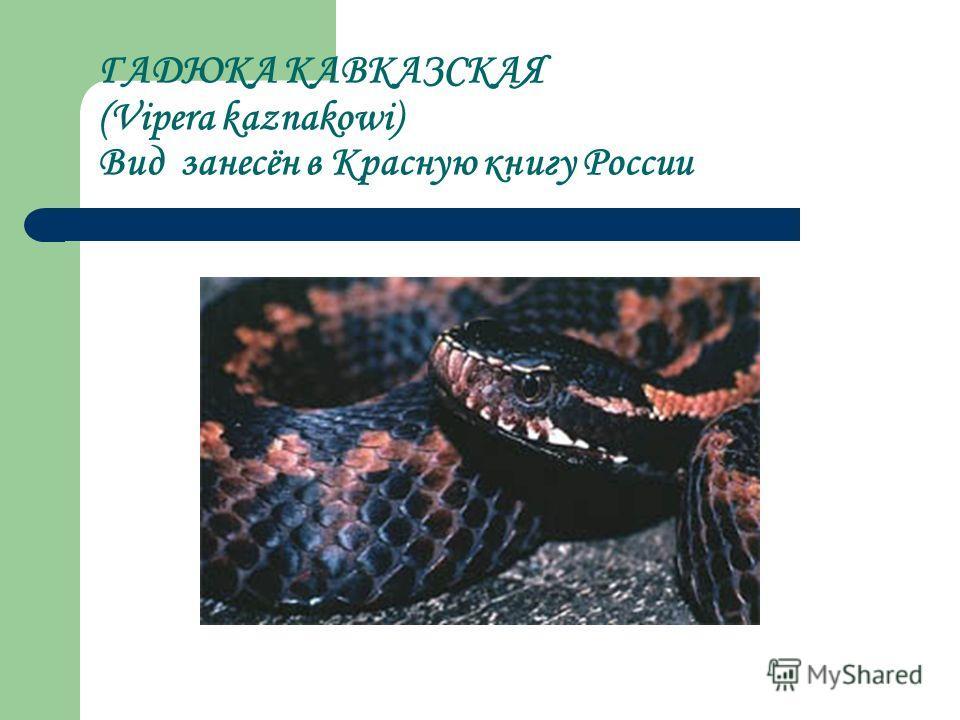 ГАДЮКА КАВКАЗСКАЯ (Vipera kaznakowi) Вид занесён в Красную книгу России