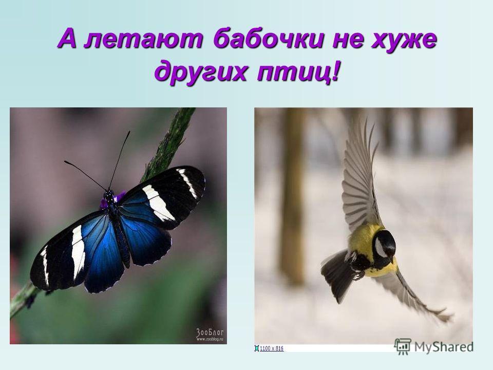 А летают бабочки не хуже других птиц!