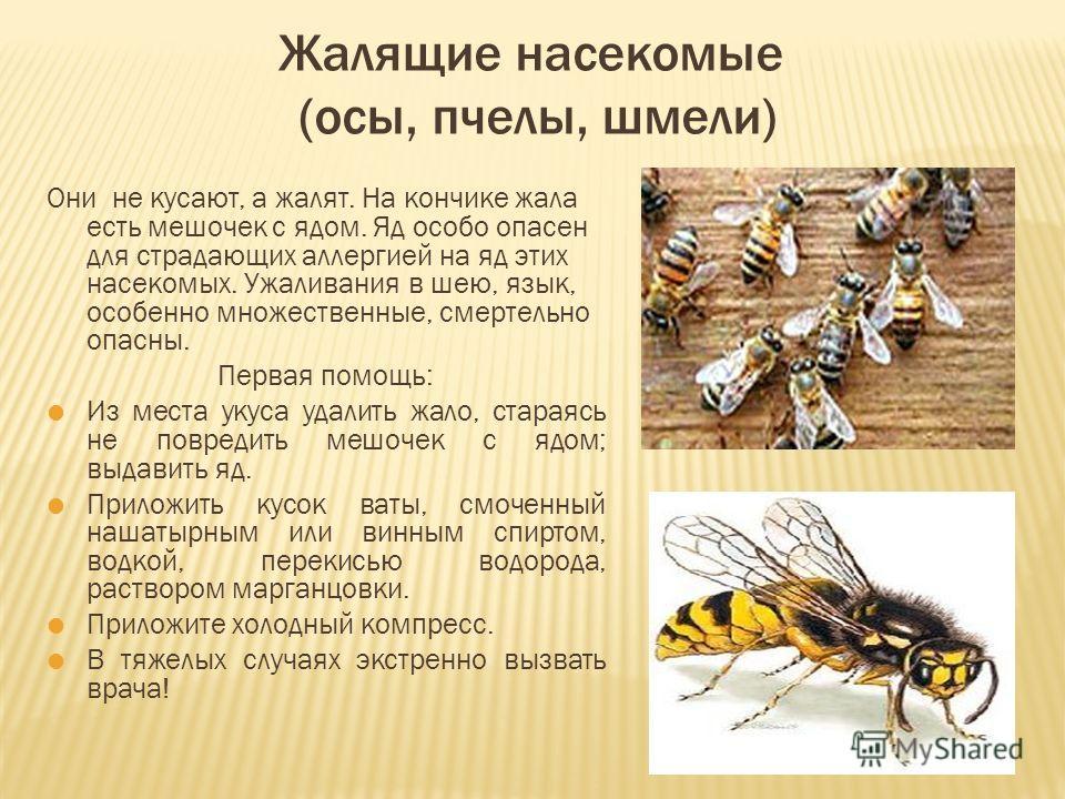 Жалящие насекомые (осы, пчелы, шмели) Они не кусают, а жалят. На кончике жала есть мешочек с ядом. Яд особо опасен для страдающих аллергией на яд этих насекомых. Ужаливания в шею, язык, особенно множественные, смертельно опасны. Первая помощь: Из мес