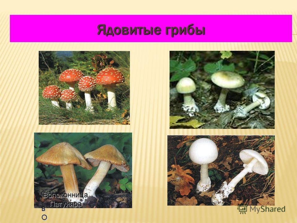 Ядовитые грибы вОЛОКОвОЛОКОвОЛОКОвОЛОКО Волоконница Патуйяра