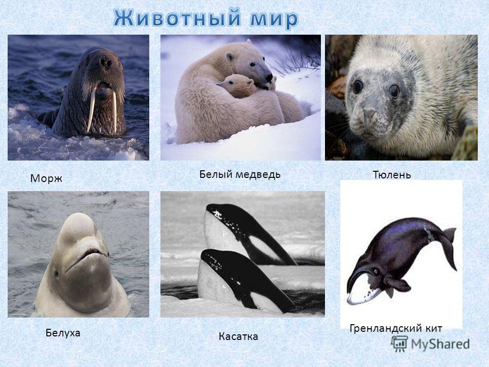 Морж Белый медведьТюлень Белуха Касатка Гренландский кит