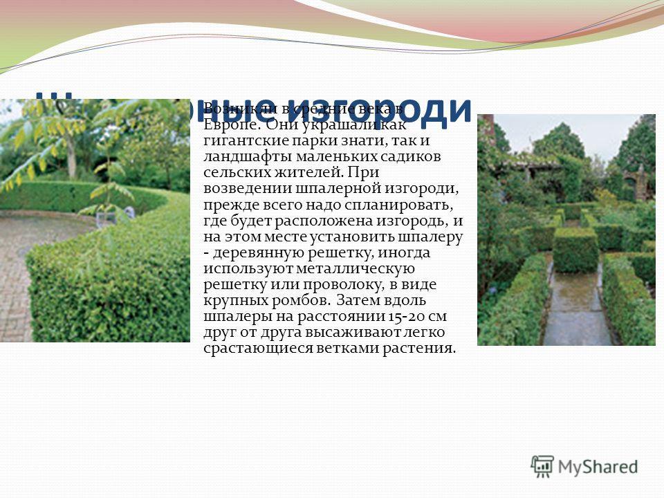 Шпалерные изгороди Возникли в средние века в Европе. Они украшали как гигантские парки знати, так и ландшафты маленьких садиков сельских жителей. При возведении шпалерной изгороди, прежде всего надо спланировать, где будет расположена изгородь, и на